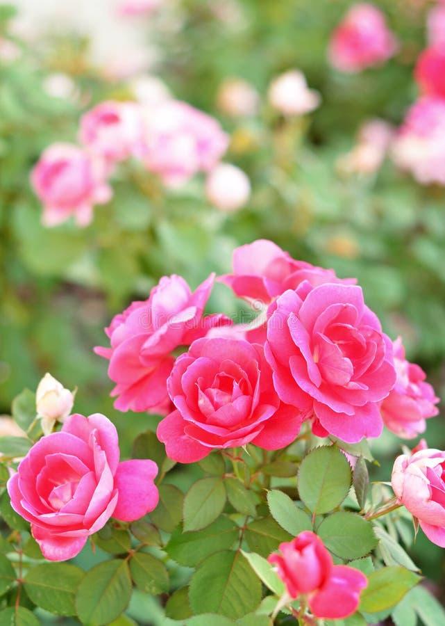 Łóżko róże fotografia royalty free