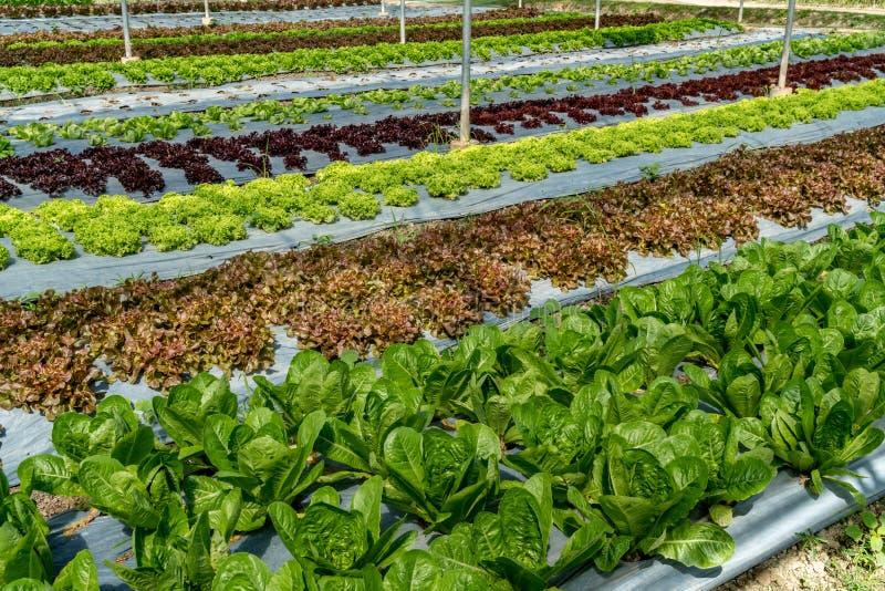 Łóżko zieleni warzywa obrazy stock
