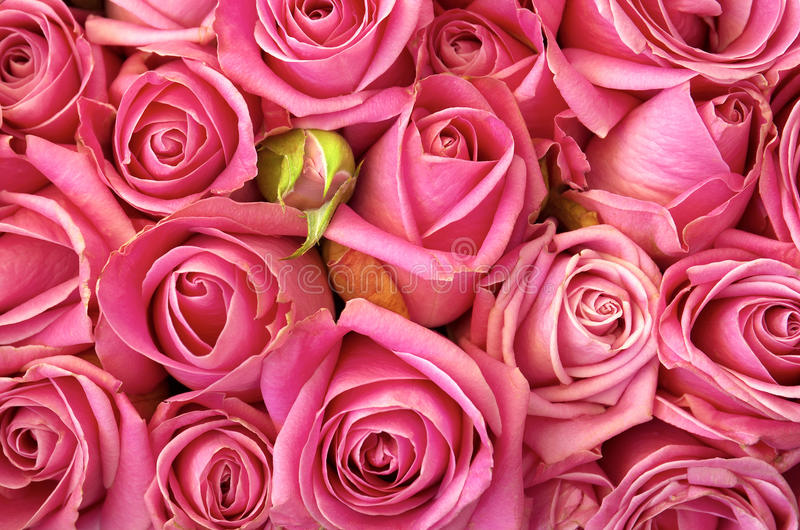 łóżkowe róże zdjęcia stock