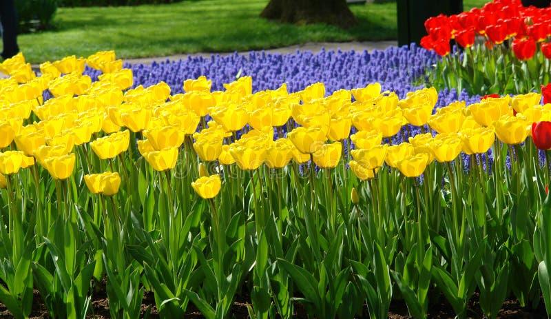 łóżkowy kwiat uprawia ogródek keukenhof wiosna fotografia stock