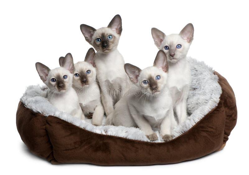 łóżkowych kota pięć figlarek pięć obsiadanie obraz royalty free