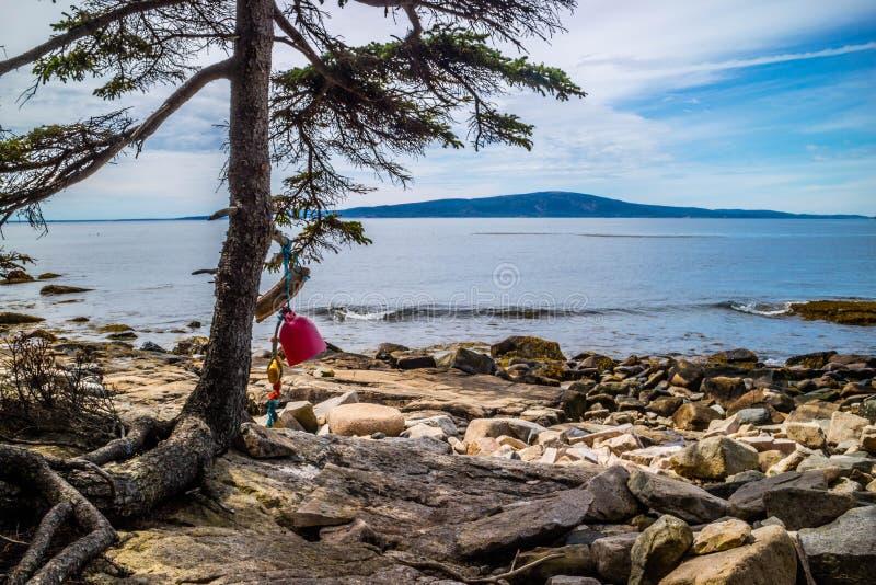 Łódkowaty Fender zrozumienie na drzewie Acadia park narodowy, Maine obrazy royalty free