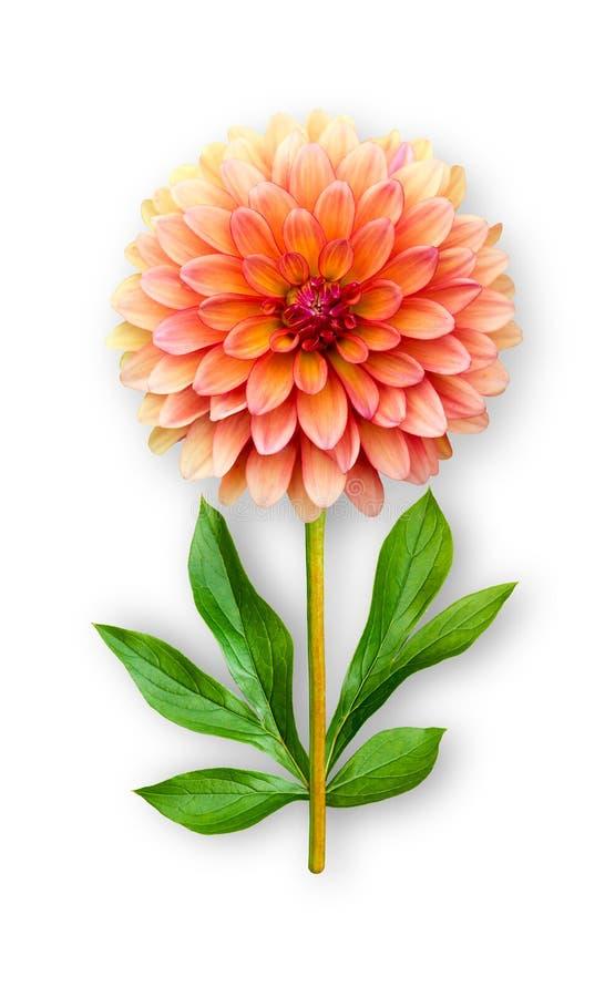 Łączący niezwykły dalia kwiat Pomarańczowa dalia z peonia liśćmi Sztuka przedmiot na bia?ym tle obraz stock