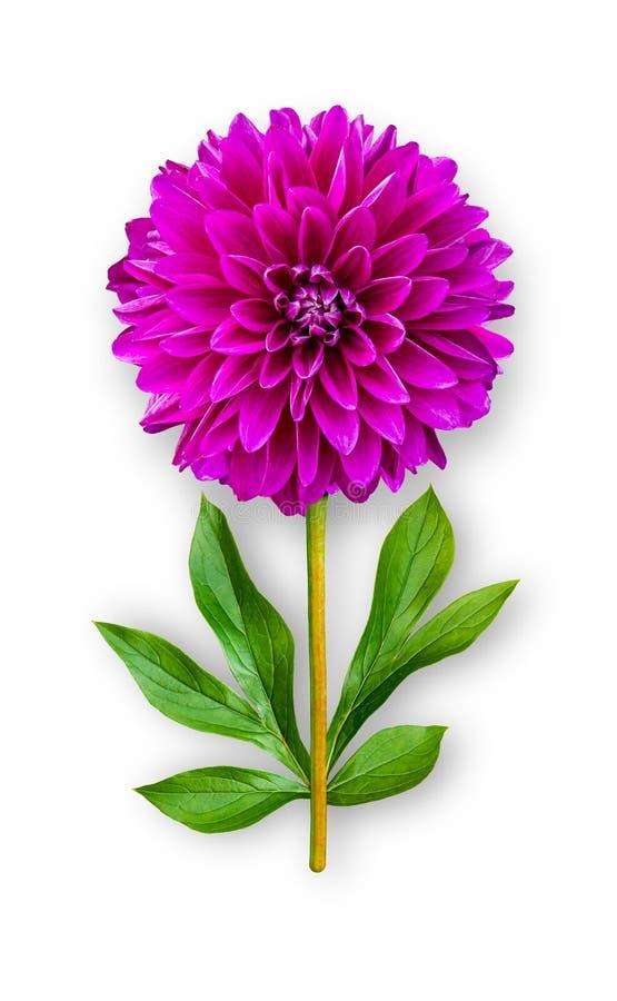 Łączący niezwykły dalia kwiat Purpurowa dalia z peonia liśćmi Sztuka przedmiot na bia?ym tle zdjęcie royalty free