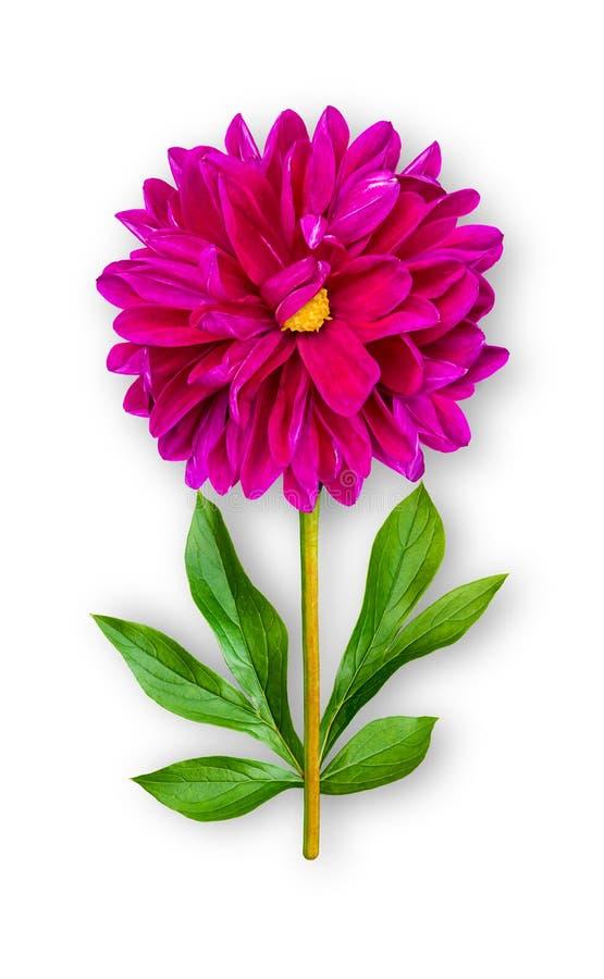 Łączący niezwykły dalia kwiat Purpurowa dalia z peonia liśćmi Sztuka przedmiot na bia?ym tle obrazy stock