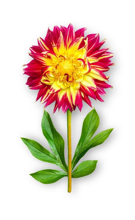 Łączący niezwykły dalia kwiat Rewolucjonistki dalia z peonia liśćmi Sztuka przedmiot na bia?ym tle zdjęcie stock