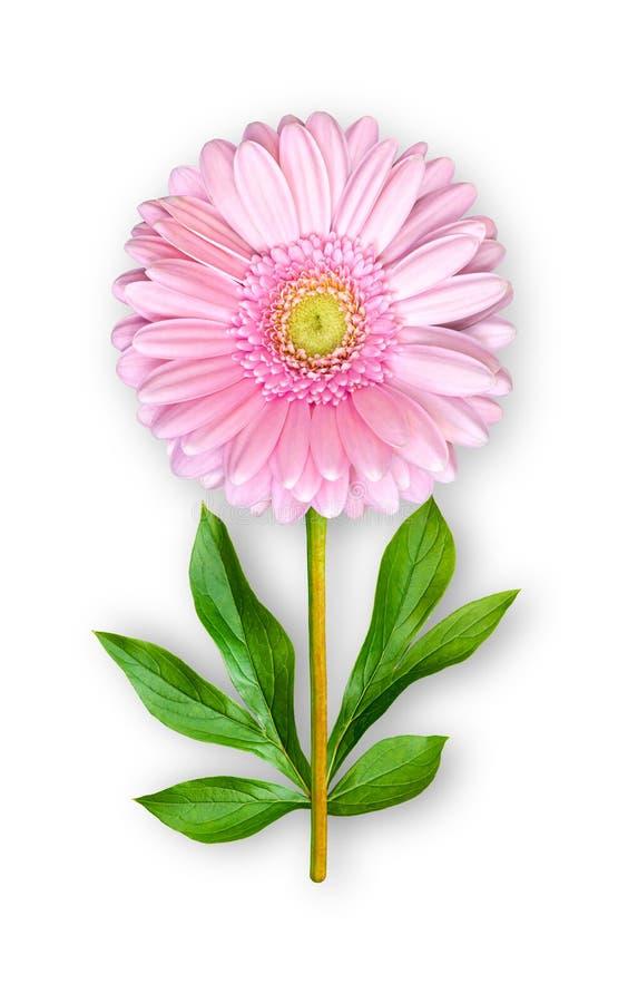 Łączący niezwykły gerbera kwiat Różowy gerbera z peonia liśćmi Sztuka przedmiot na bia?ym tle obraz stock