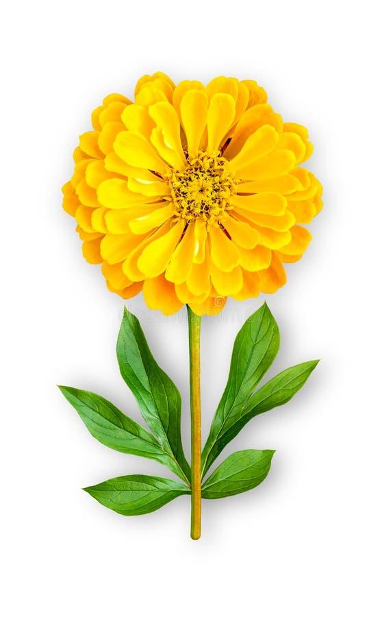 Łączący niezwykły kwiat cynie Żółte cynie z peonia liśćmi Sztuka przedmiot na bia?ym tle obrazy stock