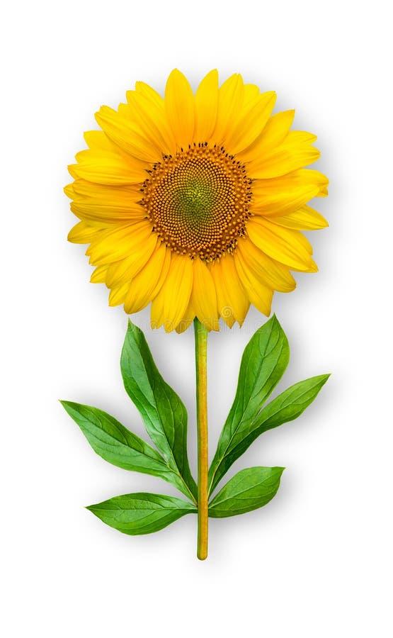 Łączący niezwykły kwiat słonecznik Słonecznik z peonia liśćmi Sztuka przedmiot na bia?ym tle obraz royalty free