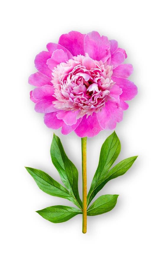 Łączący niezwykły peonia kwiat R??owa peonia Sztuka przedmiot na bia?ym tle fotografia stock