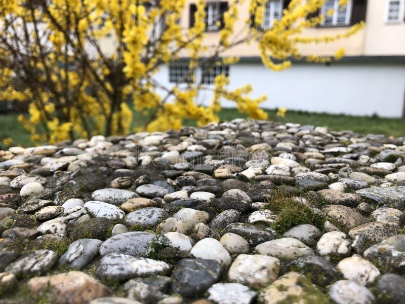 Łączący tło żółty forzition, kamienie i mech -, obrazy stock