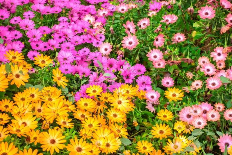 łąka kolorowe afrykańskie stokrotki Dimorphoteca, Osteospermum lubi tło w naturze, zamyka w górę zdjęcia stock