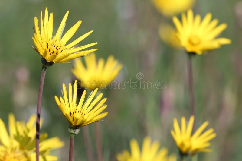 Łąka z żółtymi kwiatami obrazy royalty free