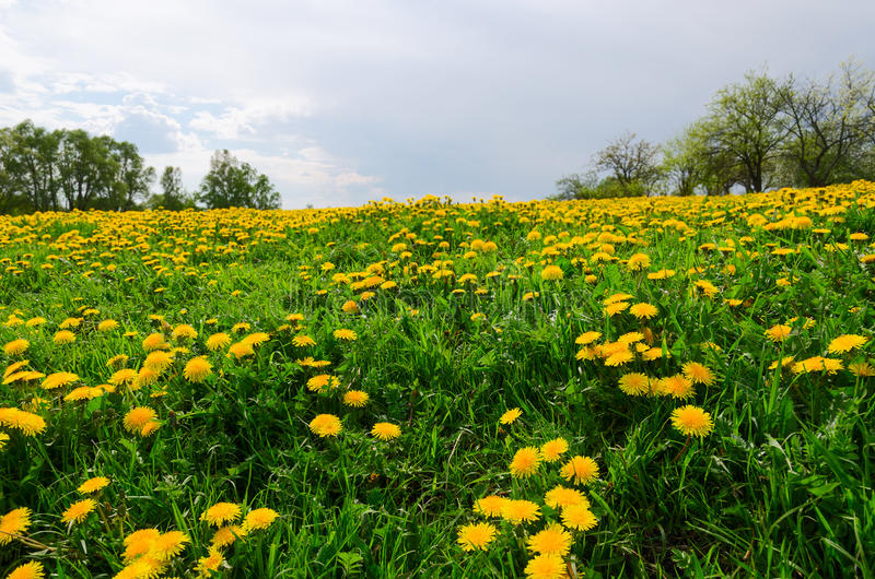 Łąka z kwitnącymi dandelions zdjęcia stock