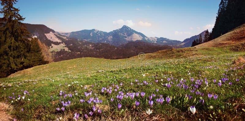 Łąka z wysokogórskim krokusem, purpurami i bielem, obraz royalty free