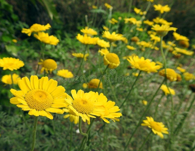 Łąki śródpolny pełny stokrotka kwiatów żółte rośliny uprawia ogródek fotografia royalty free