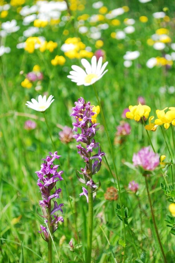 Download łąkowa góra obraz stock. Obraz złożonej z orchidea, natura - 13342431