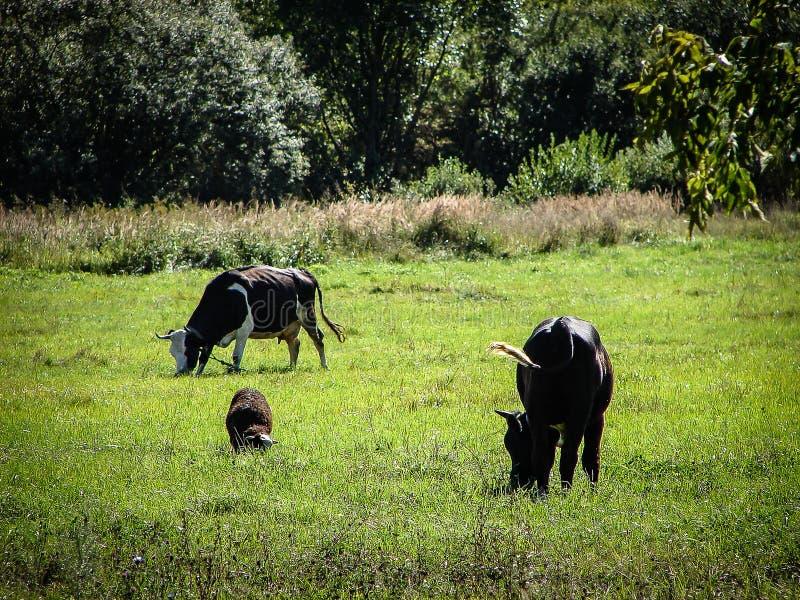 łąkowe krowy zdjęcia royalty free