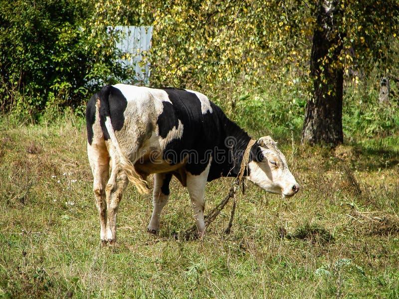 łąkowe krowy obraz royalty free