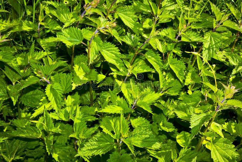 łąkowe pokrzywy obrazy stock