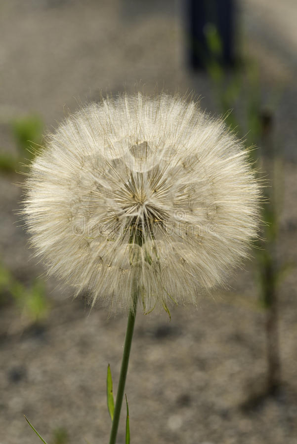 Łąkowego salsify roślina w ziarnie fotografia royalty free