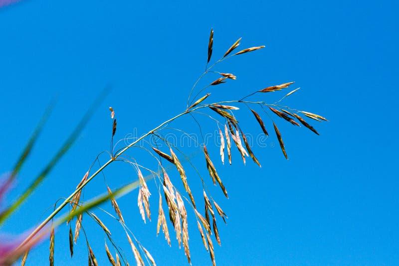 Łąkowej kostrzewy Festuca partensis na jaskrawym słonecznym dniu zdjęcie stock