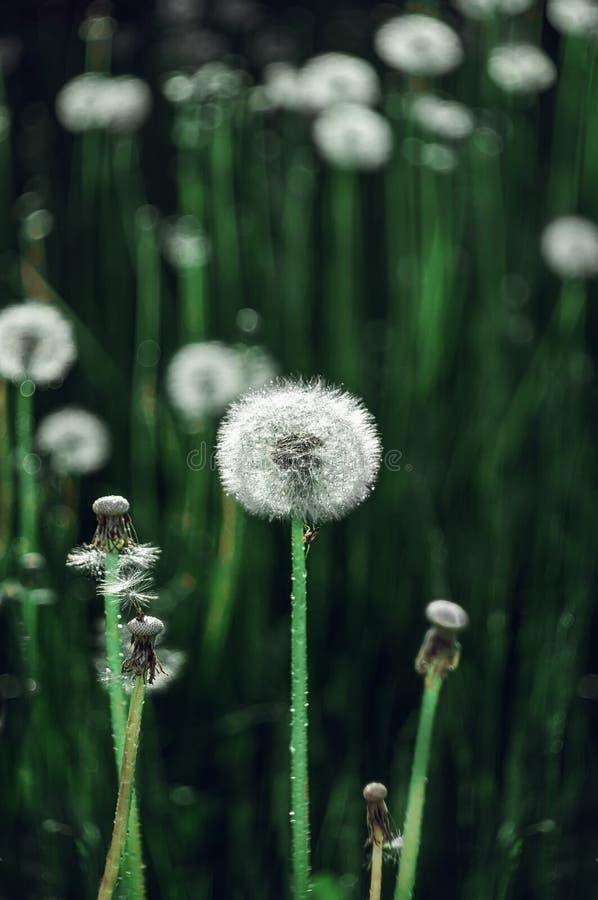 Łąkowi dandelions na tle zielona trawa kosmos kopii wally Selekcyjna ostro?? zdjęcia stock