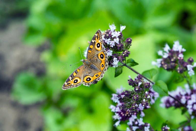 Łąkowy Argus motyl na kwiatonośnym oregano obrazy stock