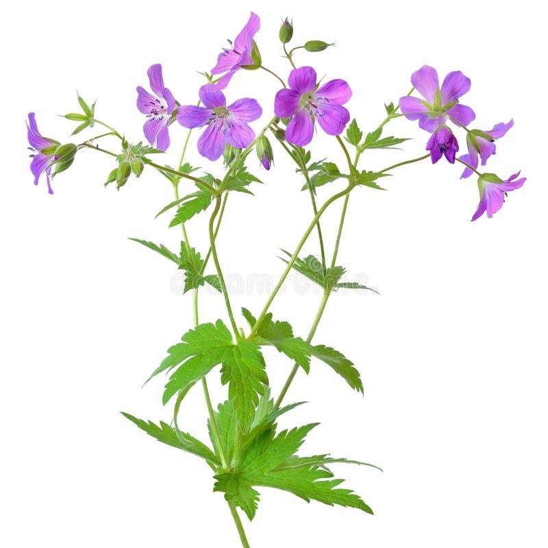 Łąkowy bodziszka kwiat (bodziszka pratense) zdjęcie stock