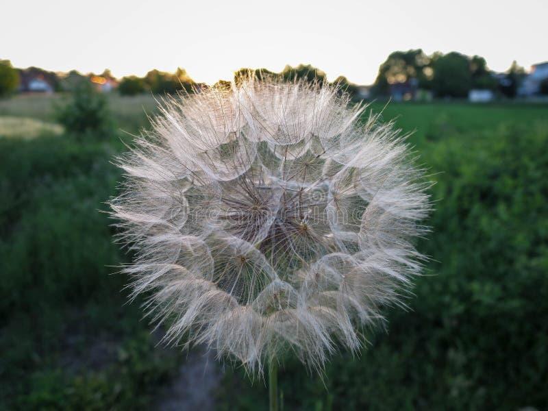 Łąkowy dandelion zdjęcia royalty free