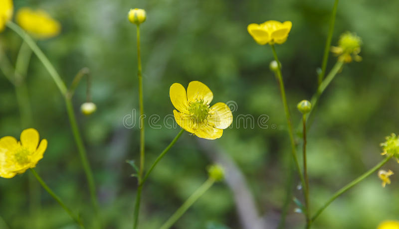 Łąkowy jaskier, nocy ślepota, (Ranunculus as L ) zdjęcie stock
