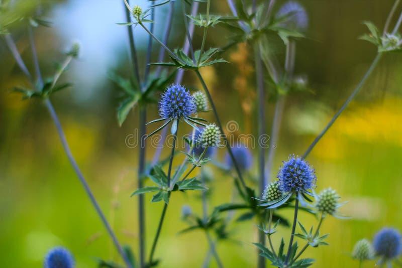 łąkowy kwiat feverweed zdjęcia stock