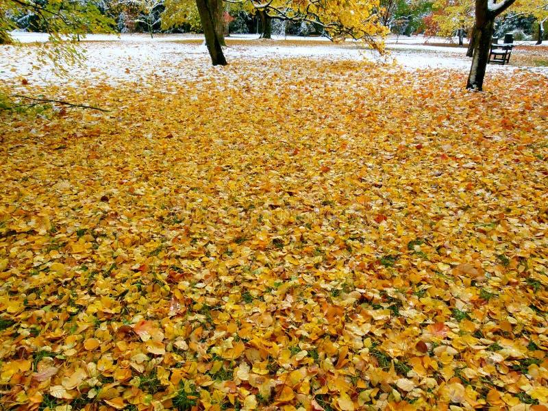 Łąkowy pełny żółci jesień liście po opad śniegu fotografia stock