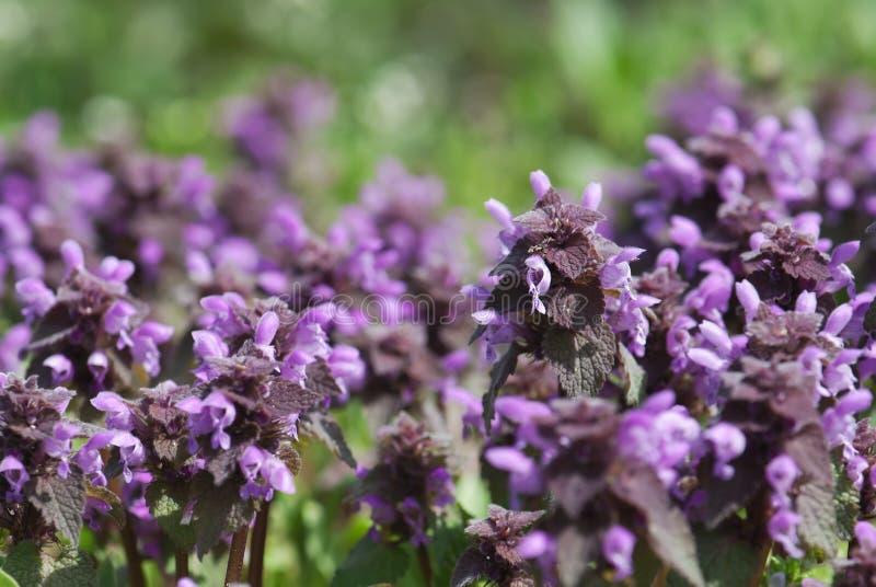 Łąkowy pełny nieżywe pokrzywy (Lamium purpureum) fotografia stock