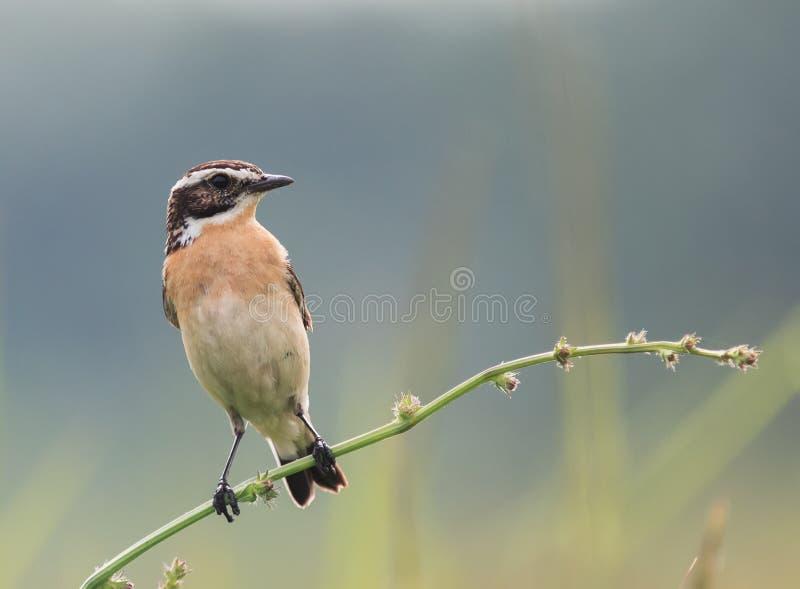 Łąkowy ptasi obsiadanie na cienkiej gałąź w lecie fotografia royalty free