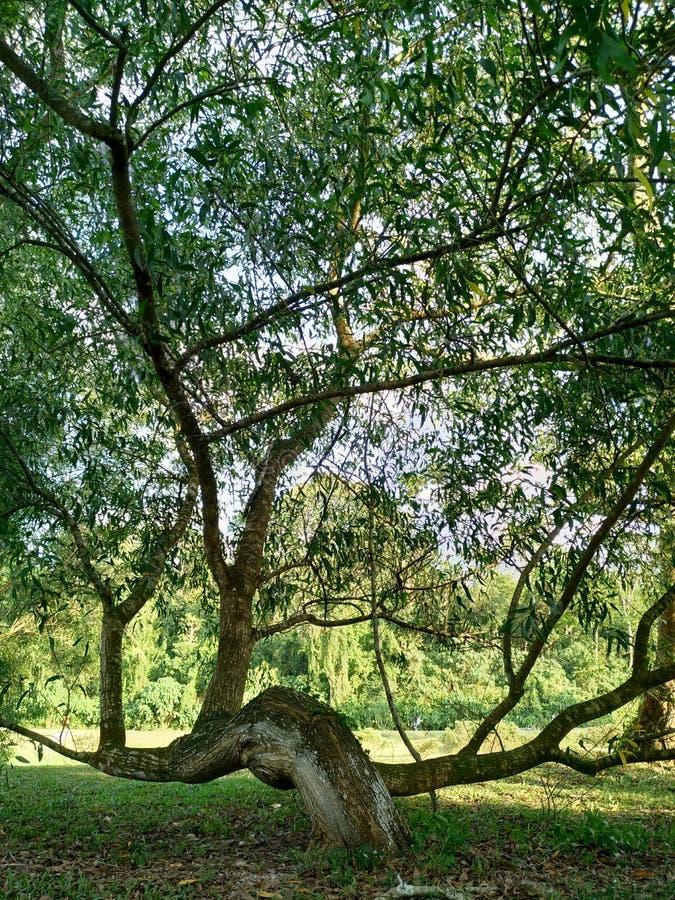 Łęku drzewo zdjęcie royalty free