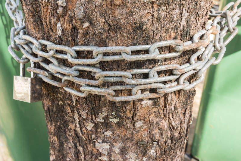 Łańcuch i kłódka dla Zapobiegać ludzi ciących cembrujemy, Save, drzewnego przeciw fotografia royalty free