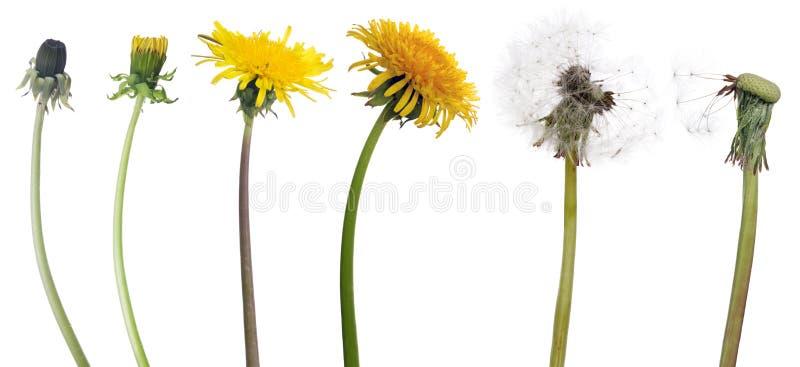 Łańcuch sześć dandelion kwiatów od początku starczość obrazy royalty free