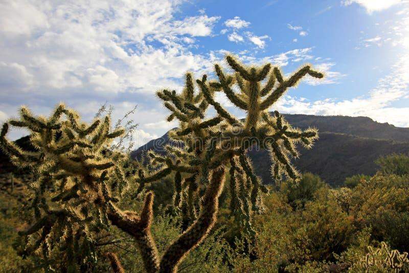 Łańcuszkowy Owocowy Cholla kaktus w Organowej drymby Kaktusowym Krajowym zabytku, Arizona, usa fotografia stock