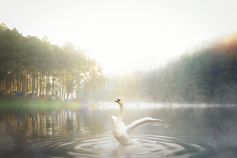Łabędź biała w parku narodowym Pang ung fotografia stock