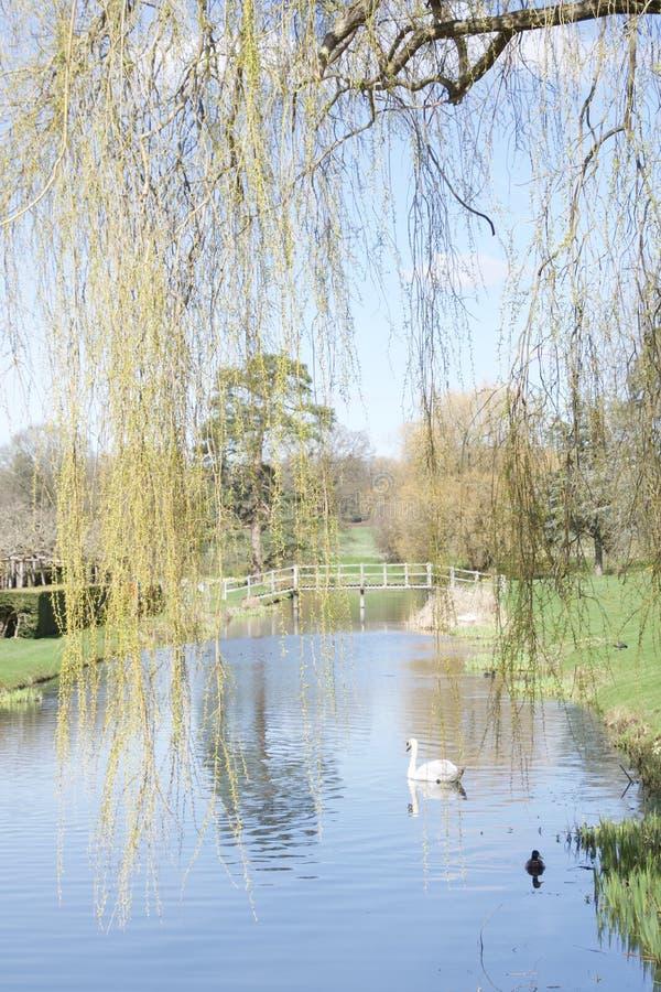 Łabędź i kaczka na rzece widzieć przez wierzbowych gałąź fotografia royalty free