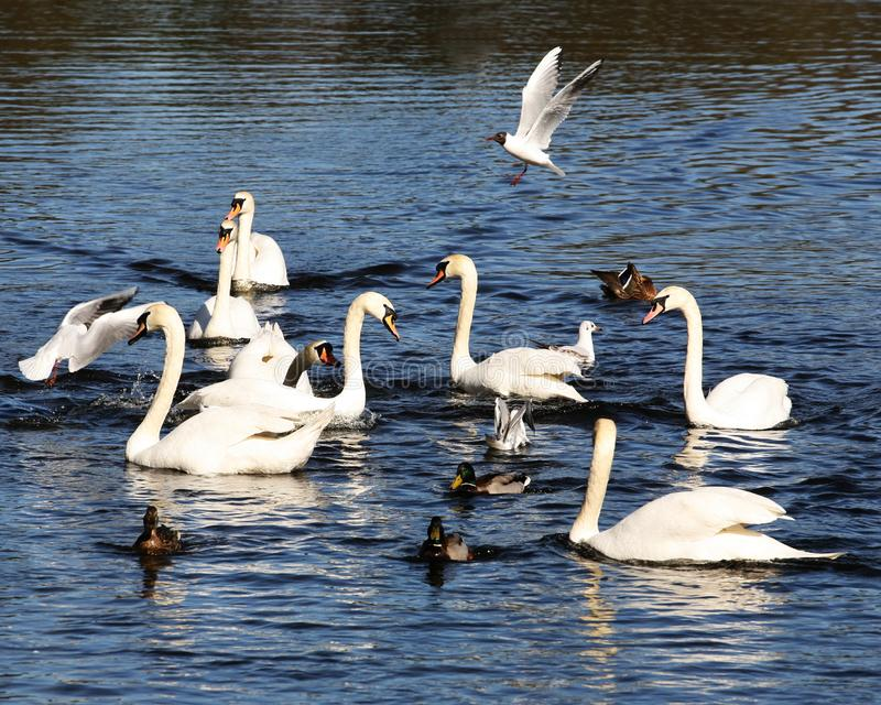 Łabędź i kaczki karmi na jeziorze obrazy royalty free