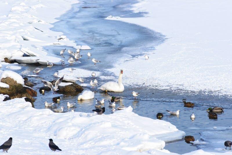 Łabędź i kaczki w Langelinie Parkują staw w zimie Kopenhaga obraz royalty free