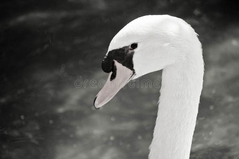 Łabędź kierownicza czarny i biały fotografia fotografia stock