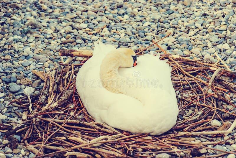 Łabędź kluje się jajka w gniazdeczku zdjęcia royalty free