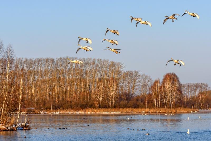 Łabędź komarnicy jeziorni ptaki obrazy stock