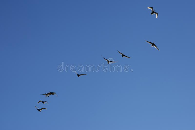 Łabędź lata w jasnym niebieskim niebie obrazy royalty free