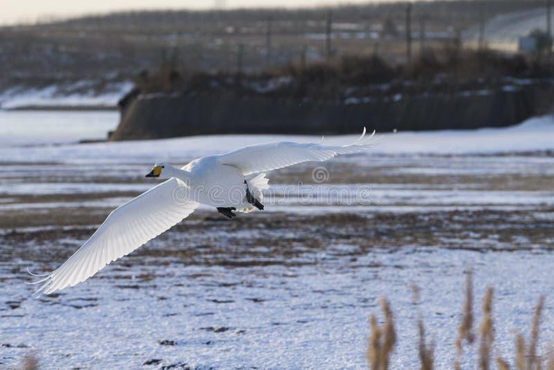 Łabędź latają w śniegu fotografia royalty free