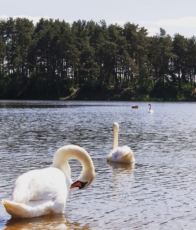 Łabędź na jeziorze zdjęcie stock