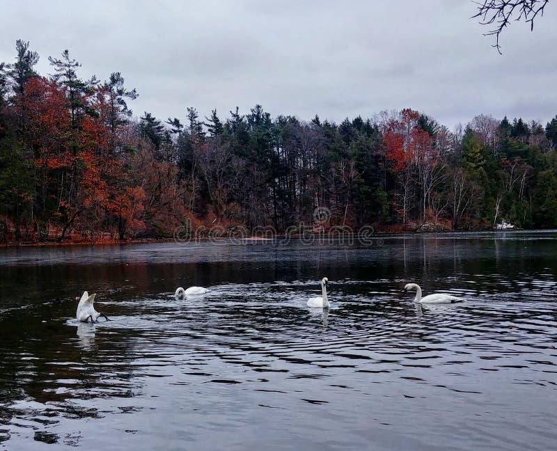 Łabędź na jeziorze obrazy royalty free